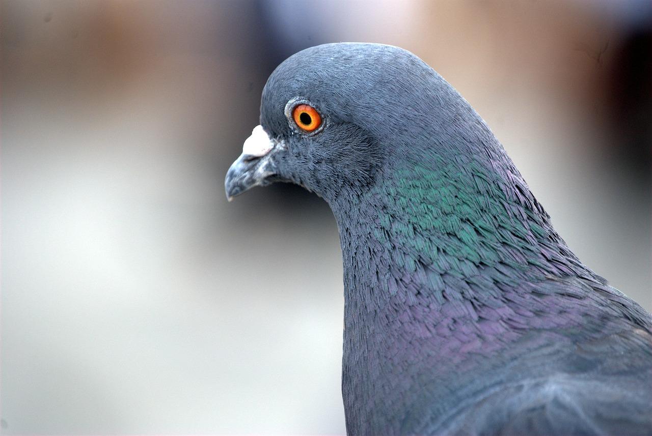 Pombos se proliferam cada vez mais